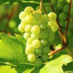 Druivenplant kopen